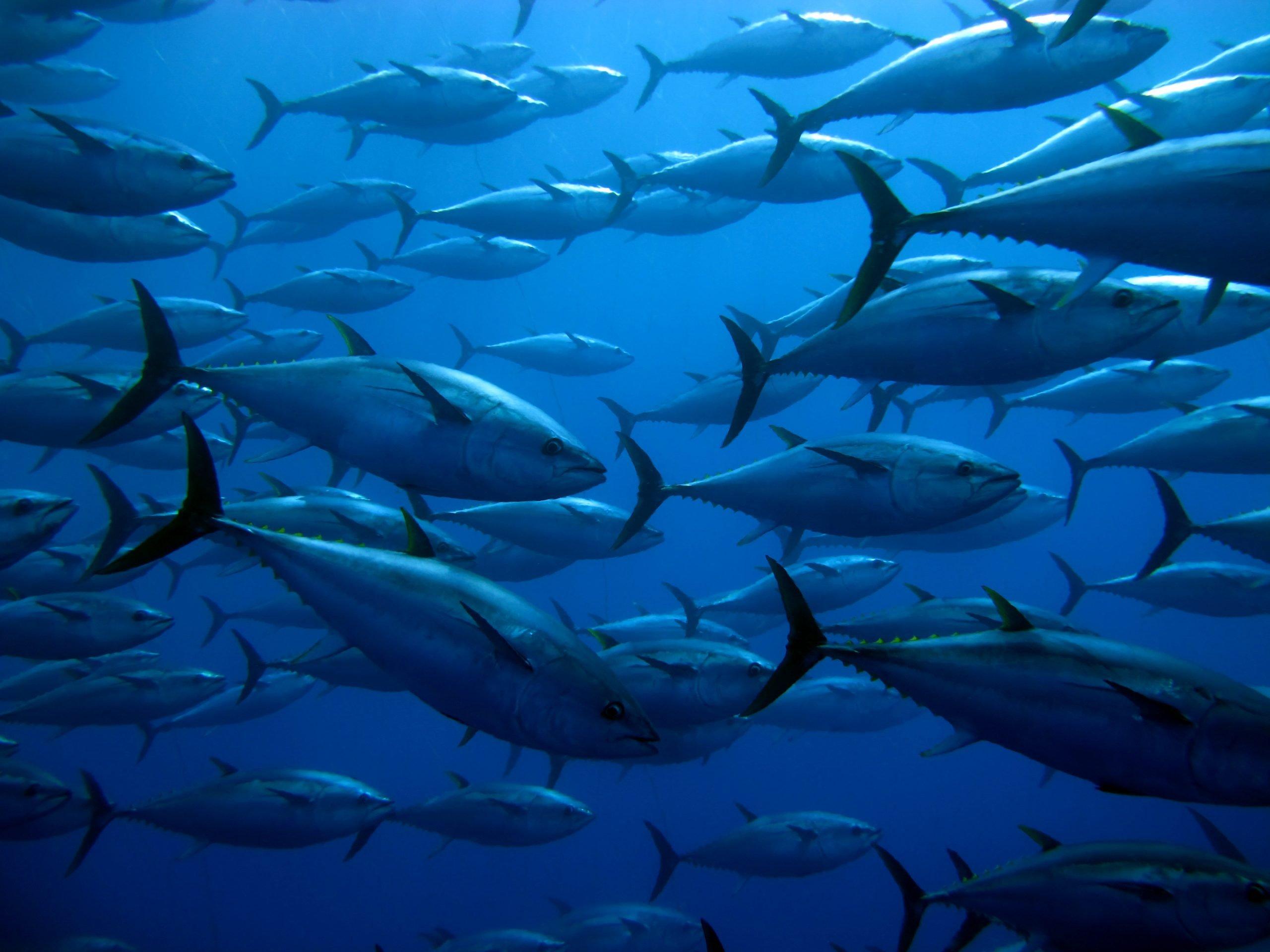 short pectoral fins on bluefin tuna