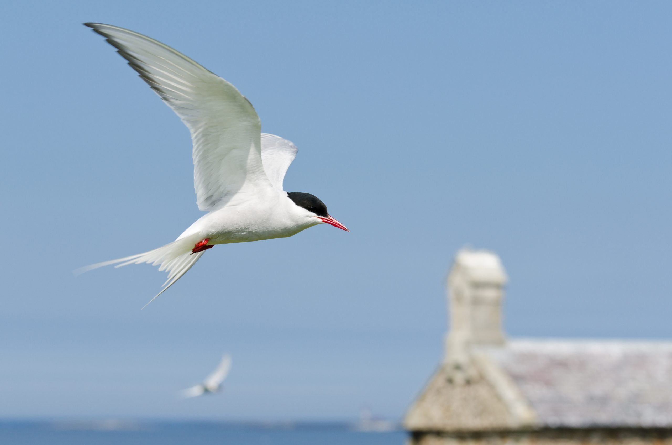 speed of arctic tern