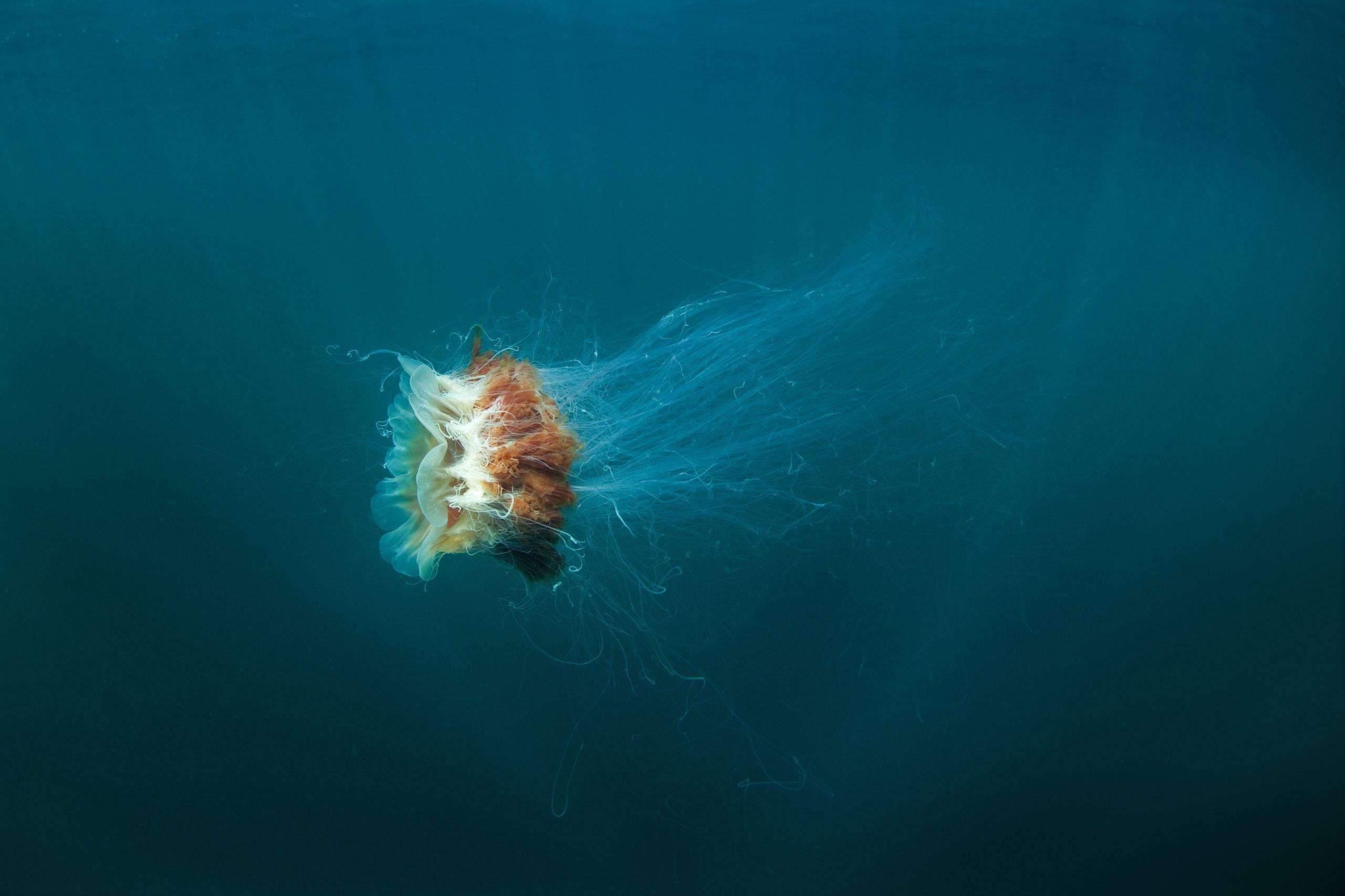 swimming lions mane jellyfish