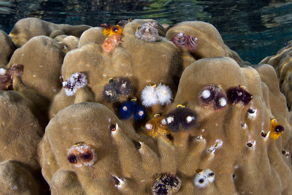 Christmas tree worms on corals