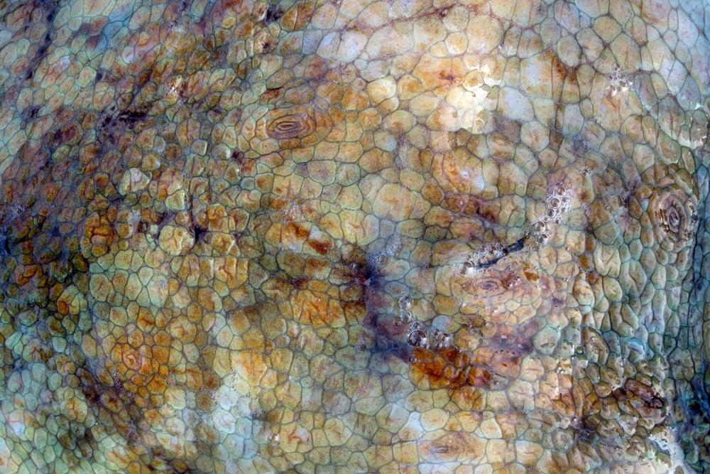 Closeup of octopus skin