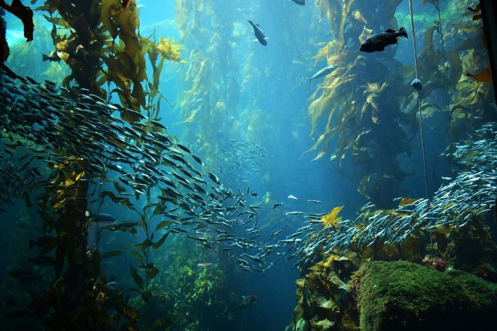 School of fish swims through kelp forest