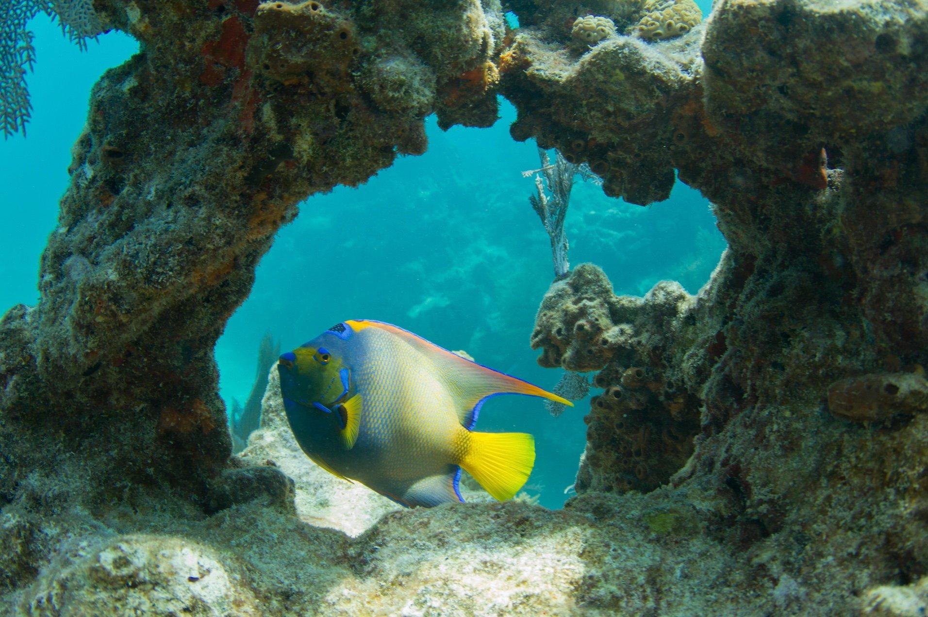 queen angelfish swimming