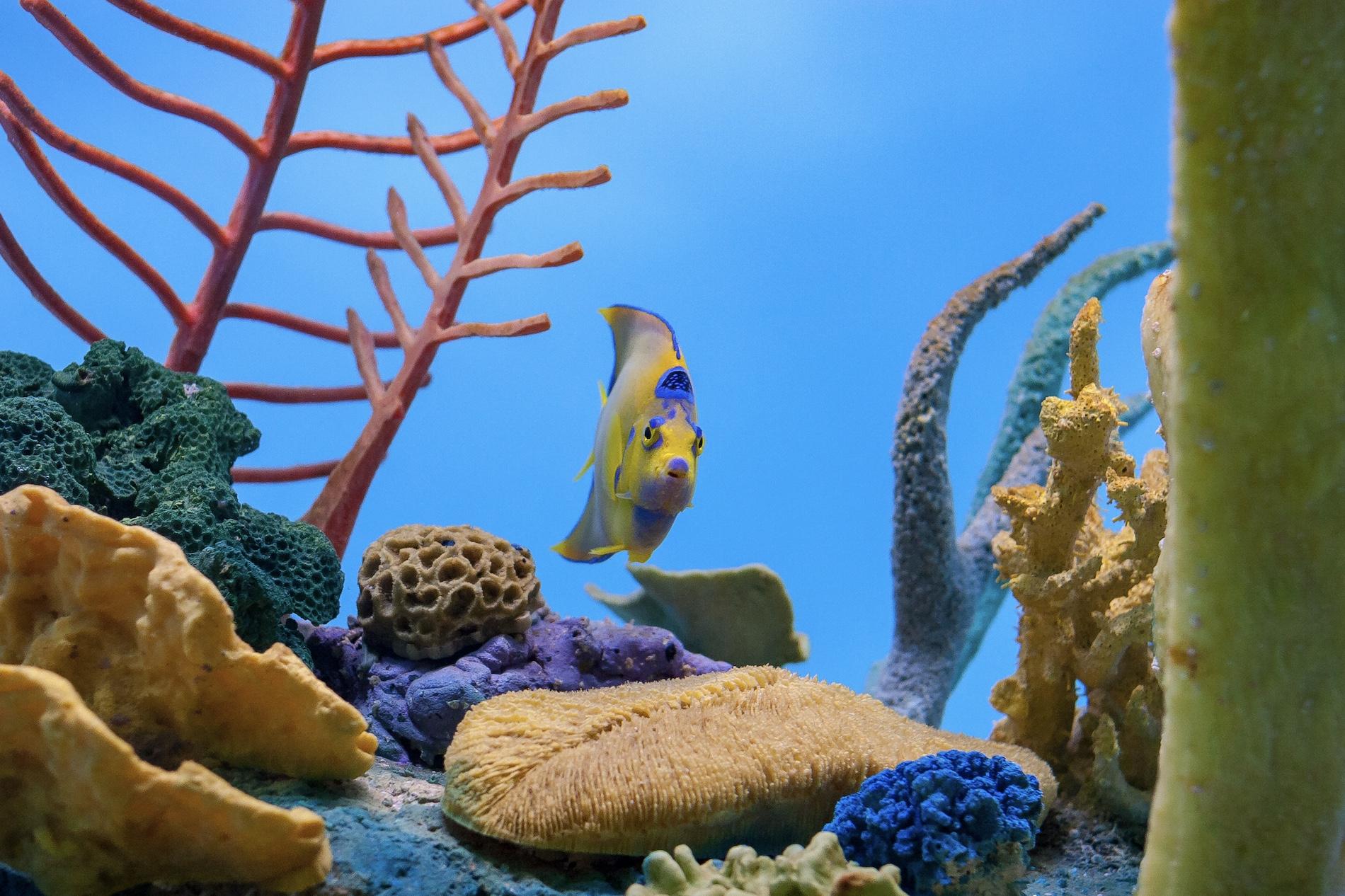queen angelfish in coral