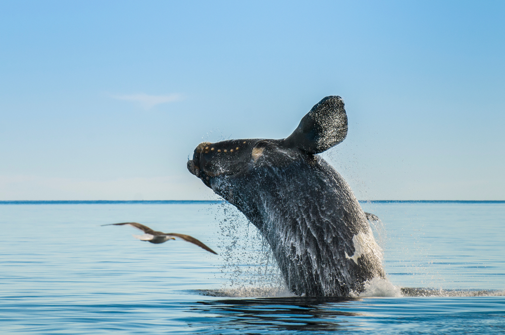 right whale breaching water
