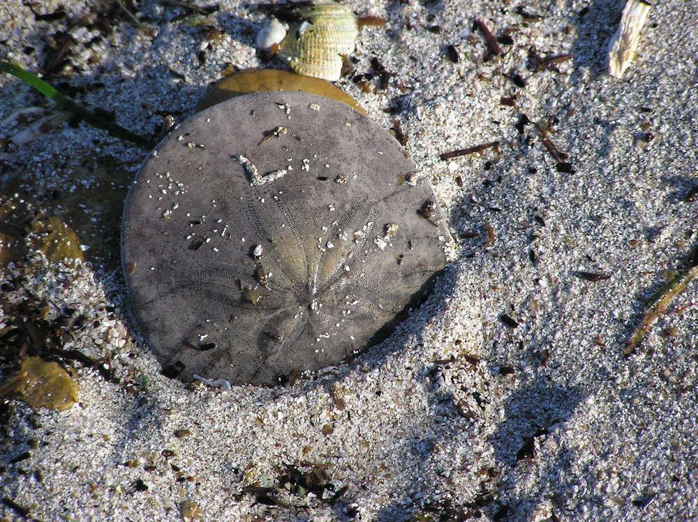 sand dollar burrowing