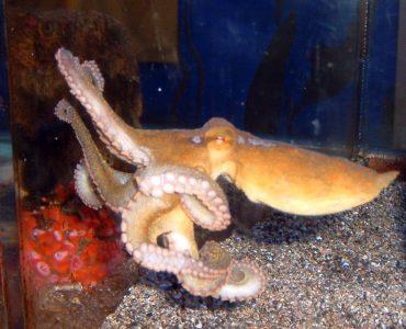 california two spot octopus
