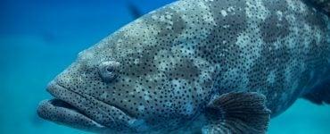 atlantic goliath grouper swimming
