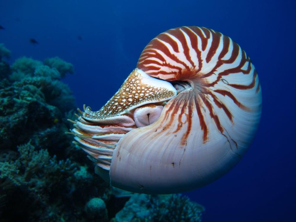 nautilus swimming in the sea