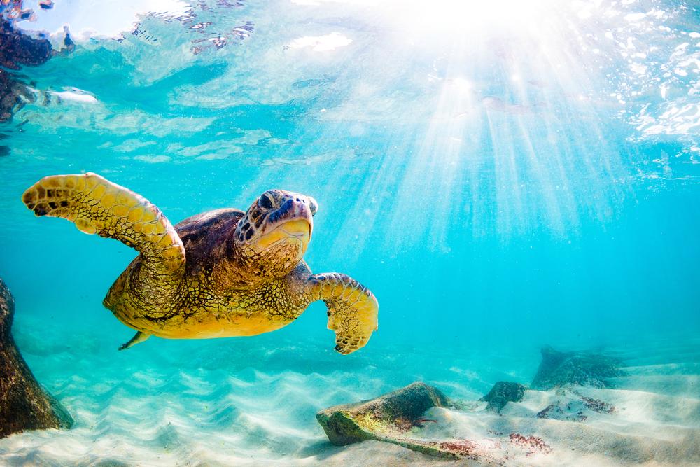 Hawaiian Green Sea Turtle Cruising in the Pacific Ocean