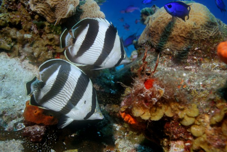 two banded butterflyfish swimming in coral reef