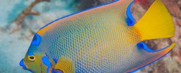 queen angelfish swimming in the ocean