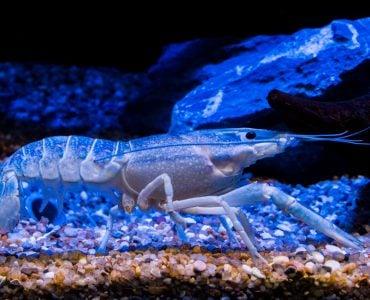 A shrimp under blue light.