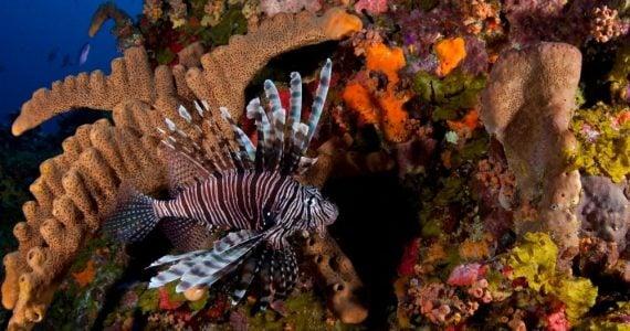 Lionfish swimming near corals