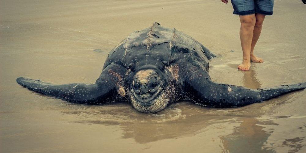 Leatherback turtle crawling on shore