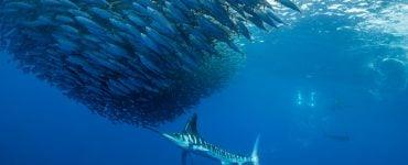 Are Blue Marlin endangered