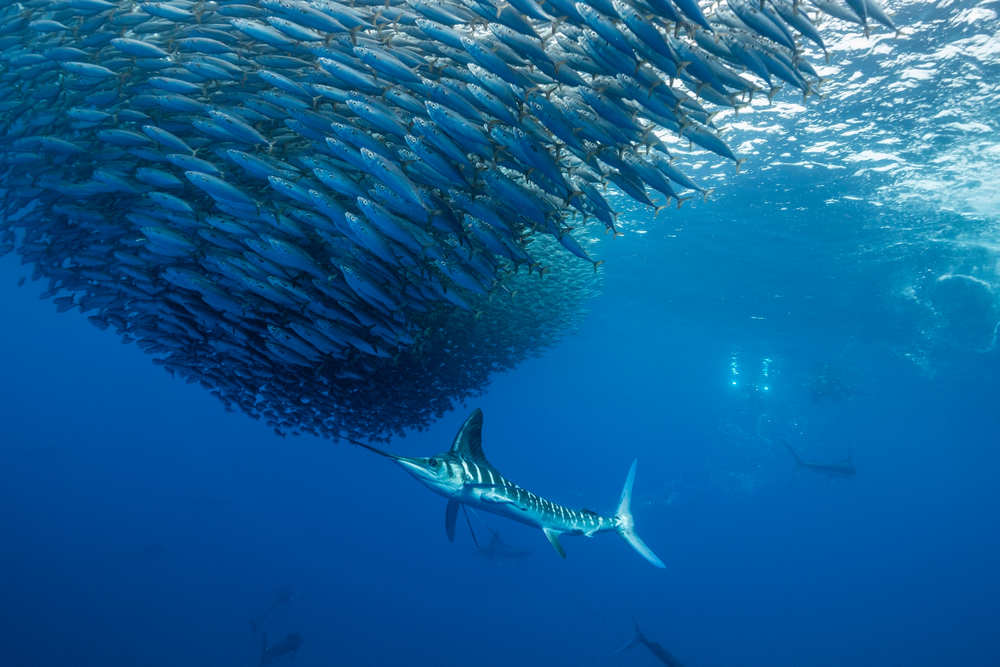 blue marlin swimming after school of fish