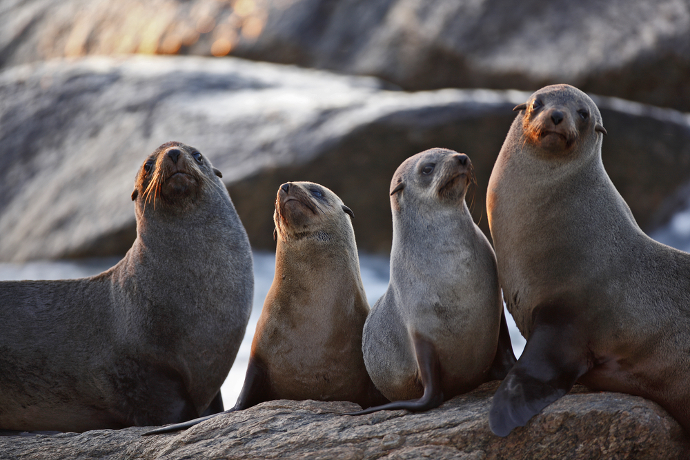 four seals sitting on top of a large rock